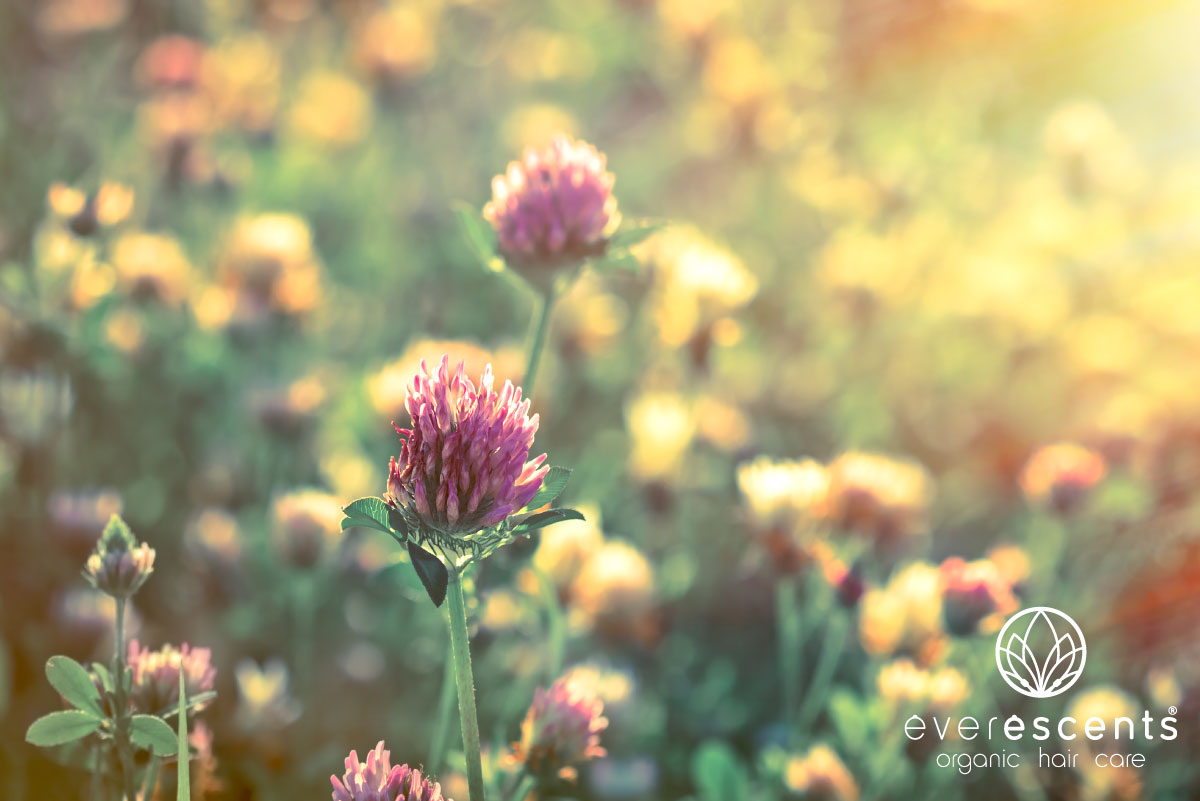 ORGANIC RED CLOVER ESSENTIAL OIL