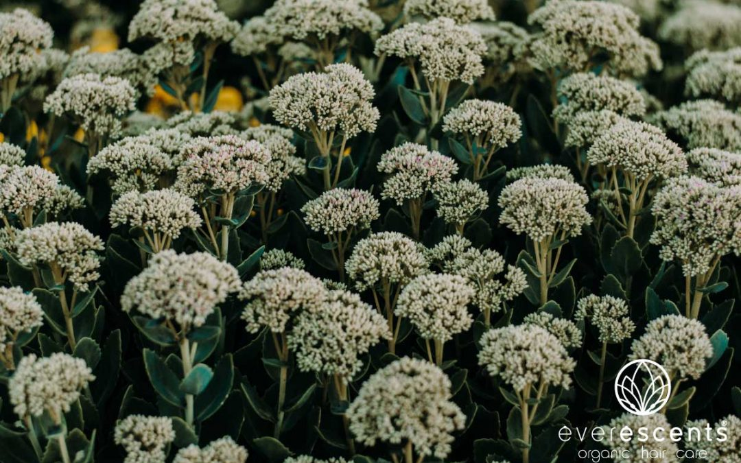 THE BENEFITS OF ORGANIC YARROW